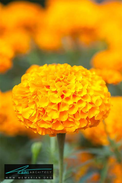 گل همیشه بهار - 18 مورد از بهترین گل های تابستانی خانگی