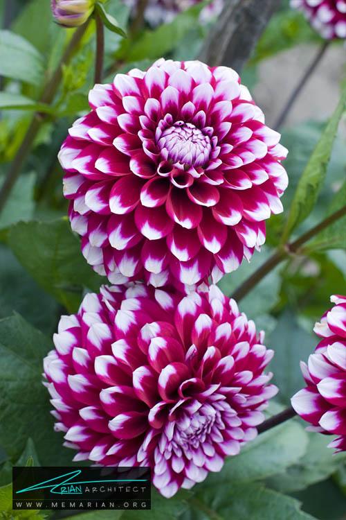 گل کوکب - 18 مورد از بهترین گل های تابستانی خانگی
