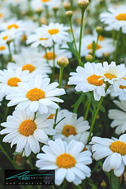 گل داوودی - 18 مورد از بهترین گل های تابستانی خانگی