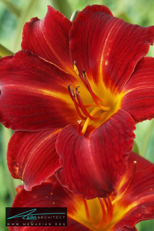 گل لیلی یک روزه - 18 مورد از بهترین گل های تابستانی خانگی