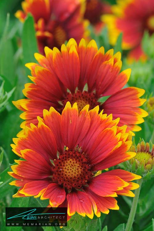 گل رعنا زیبا - 18 مورد از بهترین گل های تابستانی خانگی