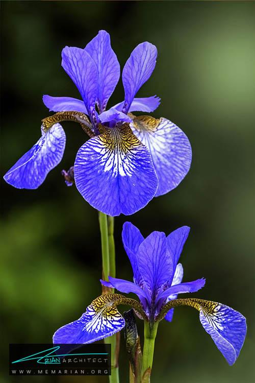 گل زنبق - 18 مورد از بهترین گل های تابستانی خانگی