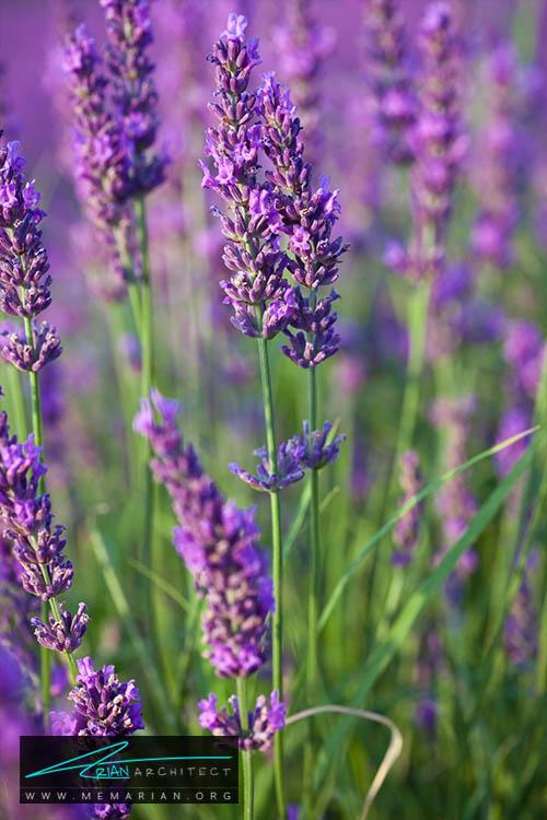 گل اسطوخدوس - 18 مورد از بهترین گل های تابستانی خانگی