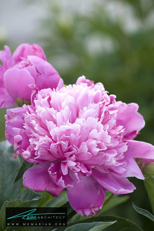 گل صدتومانی - 18 مورد از بهترین گل های تابستانی خانگی