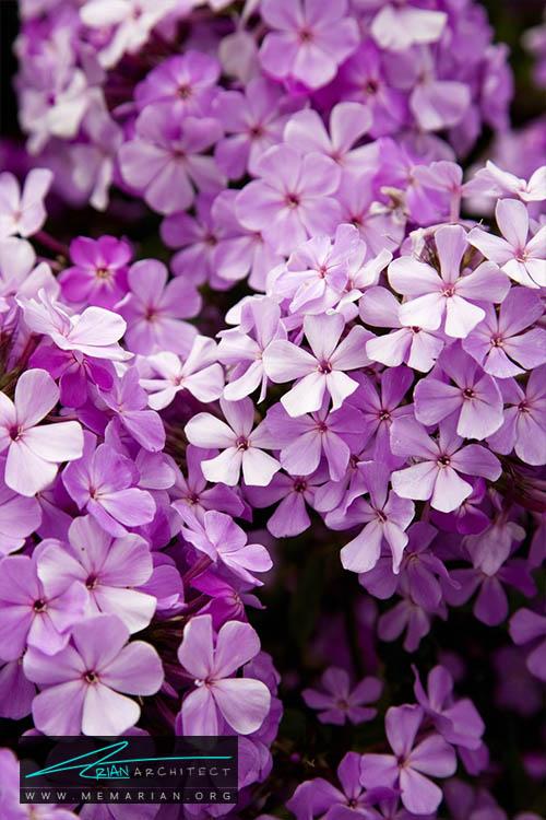گل چتری - 18 مورد از بهترین گل های تابستانی خانگی
