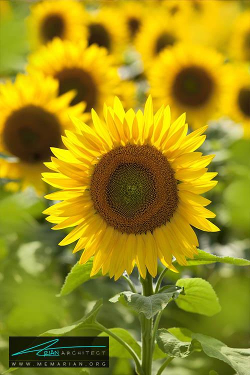 گل آفتابگردان - 18 مورد از بهترین گل های تابستانی خانگی