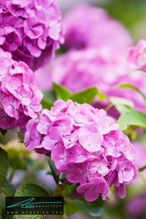 گل ادریس - 18 مورد از بهترین گل های تابستانی خانگی