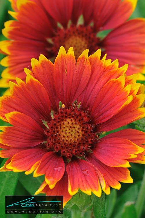 گل گیلاردیا - 18 مورد از بهترین گل های تابستانی خانگی