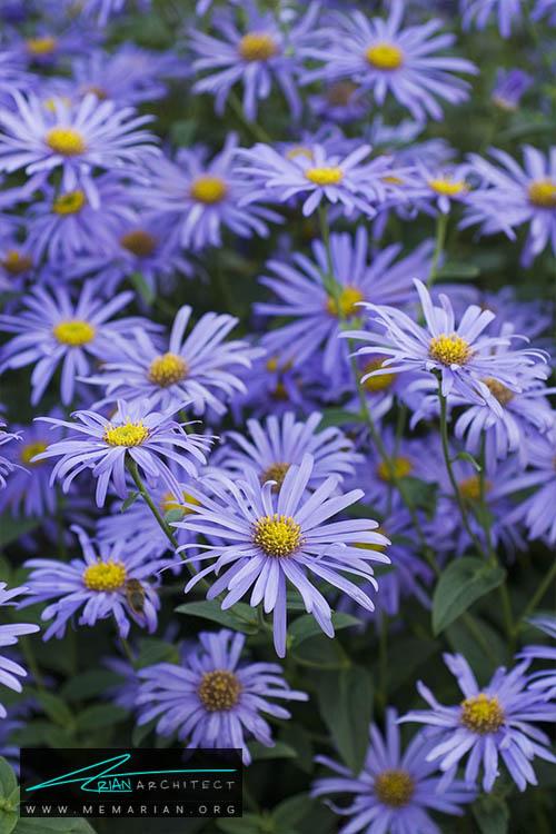 گل مینا - 18 مورد از بهترین گل های تابستانی خانگی