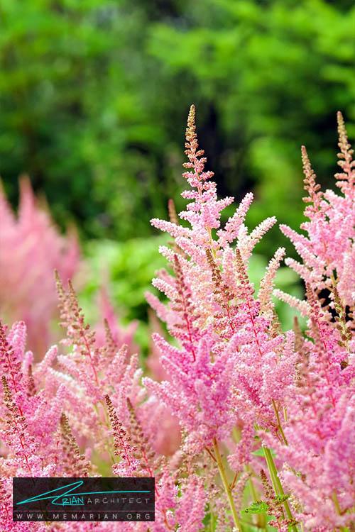 گل استیلب - 18 مورد از بهترین گل های تابستانی خانگی