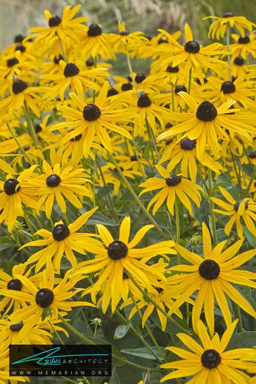 گل سوسن سیاه چشم - 18 مورد از بهترین گل های تابستانی خانگی