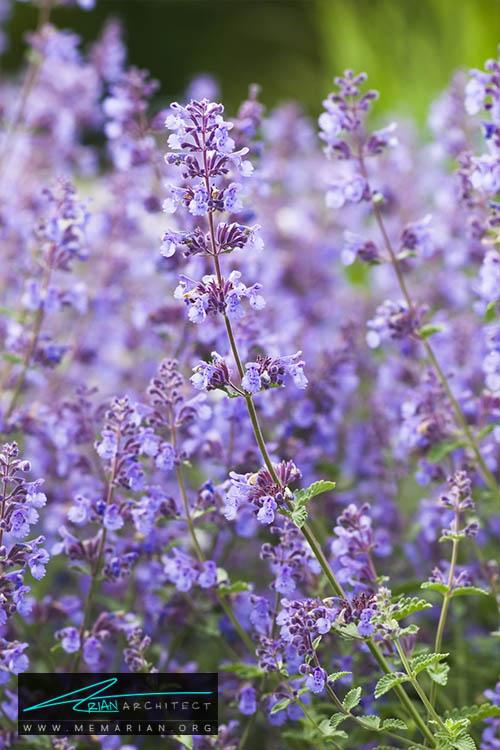 گل نعنا گربه ای - 18 مورد از بهترین گل های تابستانی خانگی