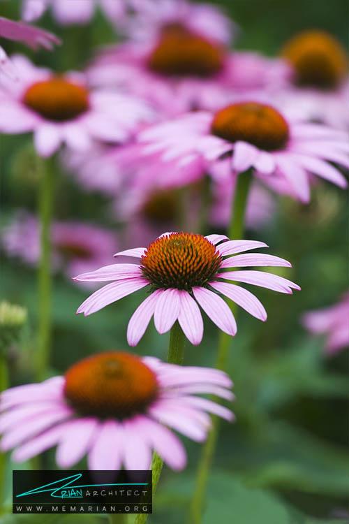 گل مخروط بنفش - 18 مورد از بهترین گل های تابستانی خانگی