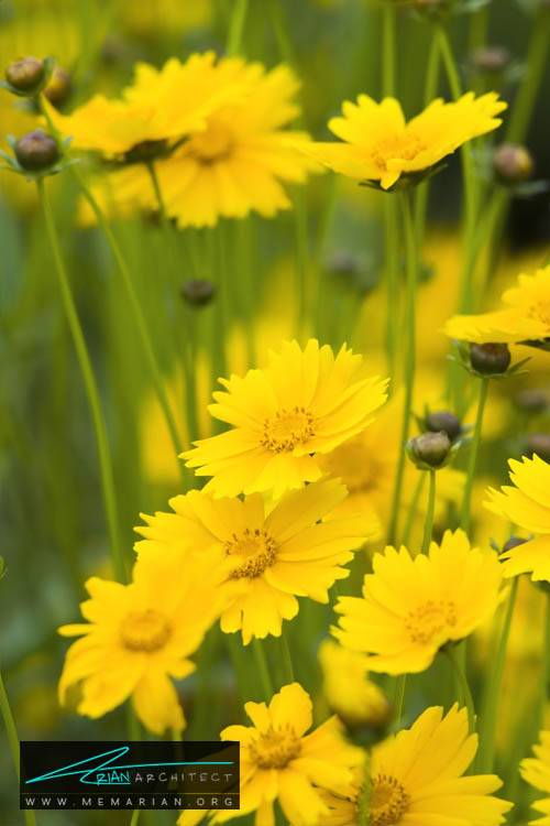 گل اشرفی - 18 مورد از بهترین گل های تابستانی خانگی