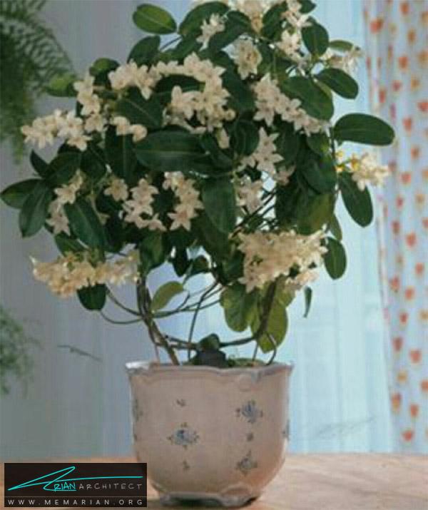 گل های آشپزخانه - استفانوتیس