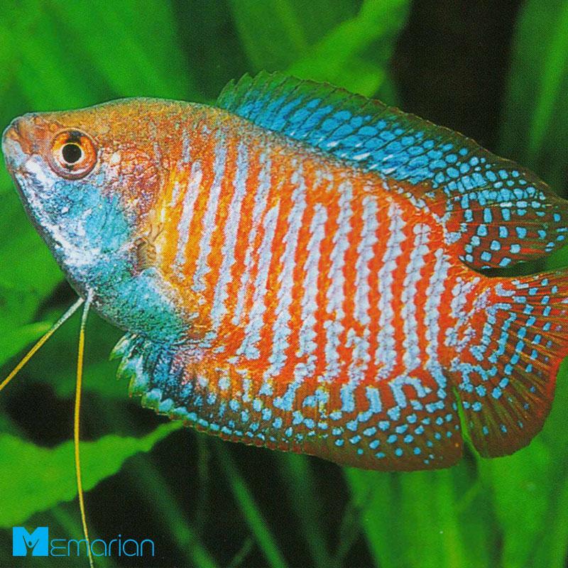 ماهی های تزیینی
