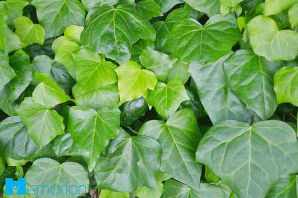 گیاه پیچک انگلیسی، یکی از گیاهان آپارتمانی کلاسیک