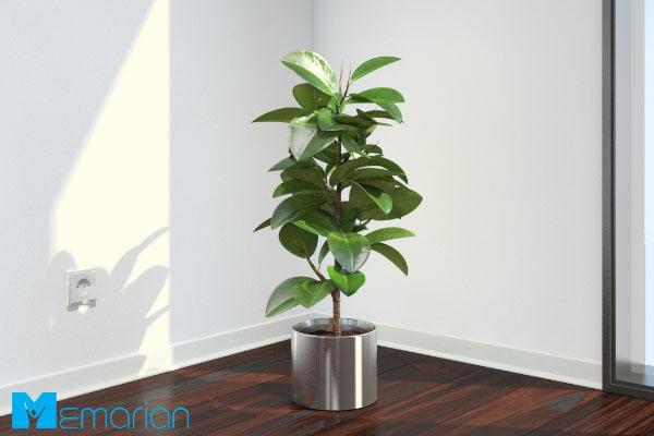 گیاه فیکوس، گیاهی که نیاز به مراقبت چندانی ندارد