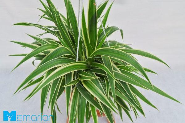 گیاه عنکبوت، یکی از مناسب ترین گیاهان در دفترکار