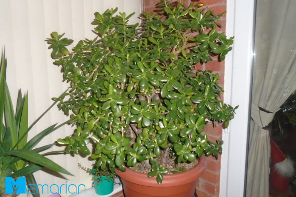 گیاه یشم، یکی از گیاهان آپارتمانی مناسب محل کار